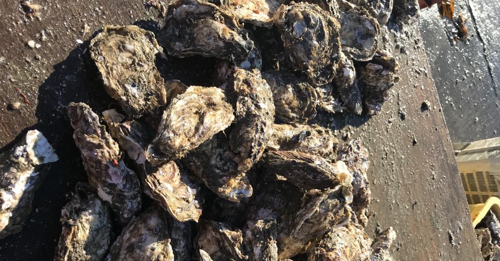 水揚げされた岩牡蠣