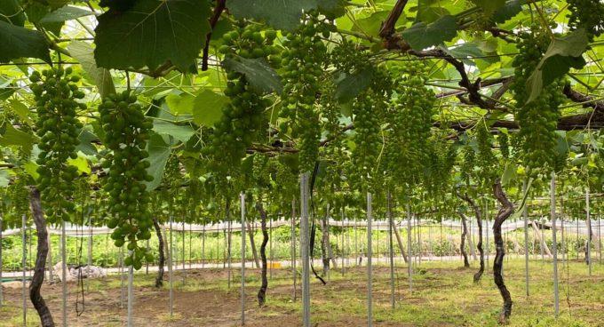 green-grape-field-etegami