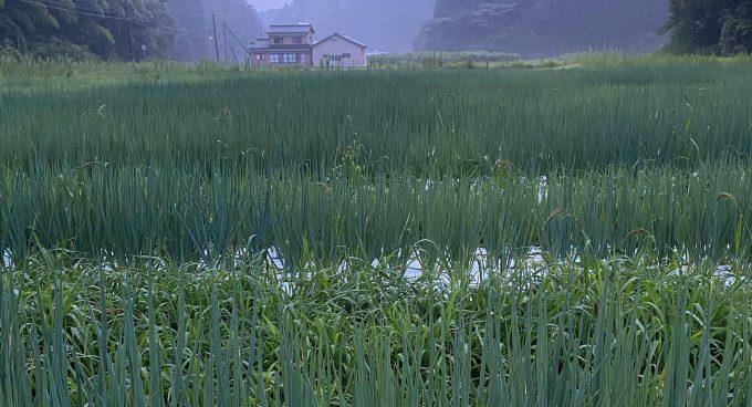 rice-field-of-ishikawa-prefecture-KNOWCH