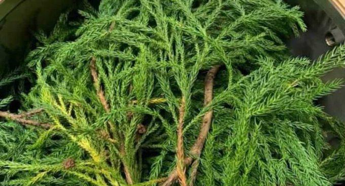ジン蒸留用の杉の葉